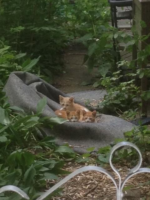 3 cats orange white