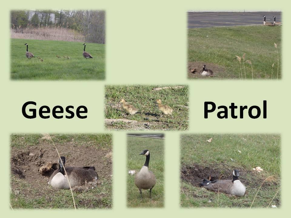 Geese Patrol
