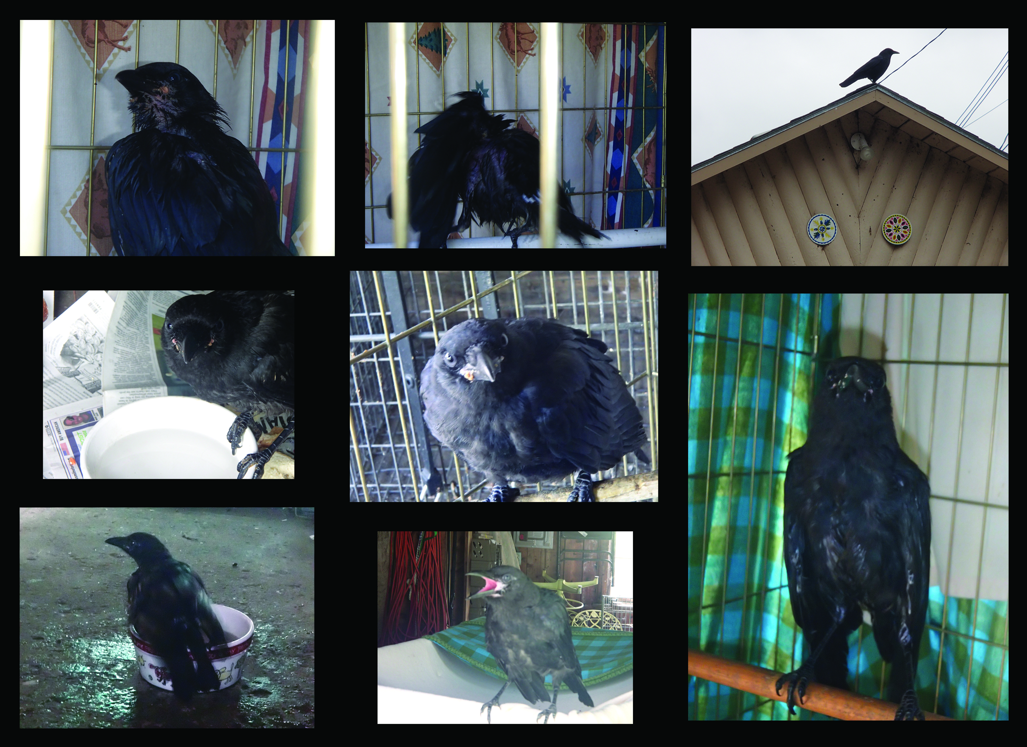 October 26 2014 crow story