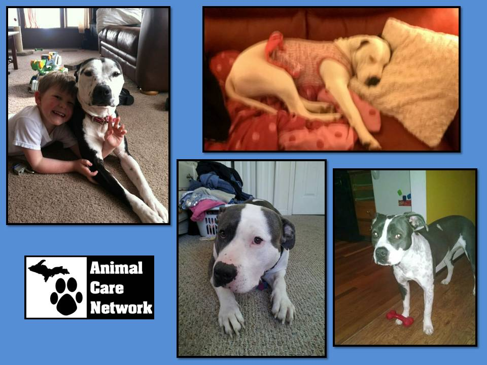 MHS free pit bull sterilization with acn