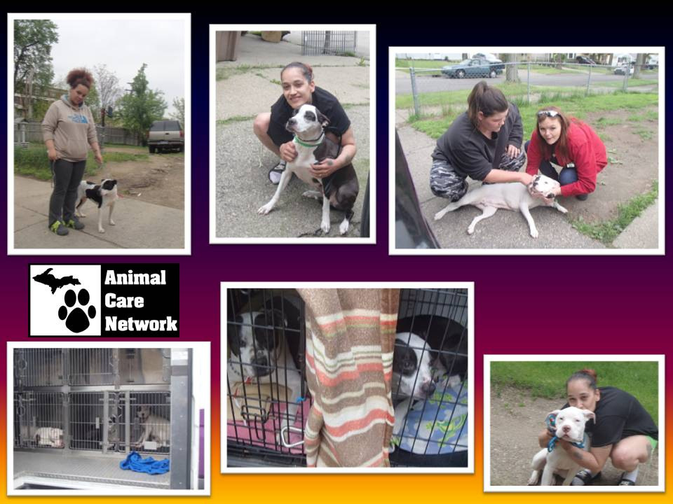 four more pitt bulls spayed and neutered
