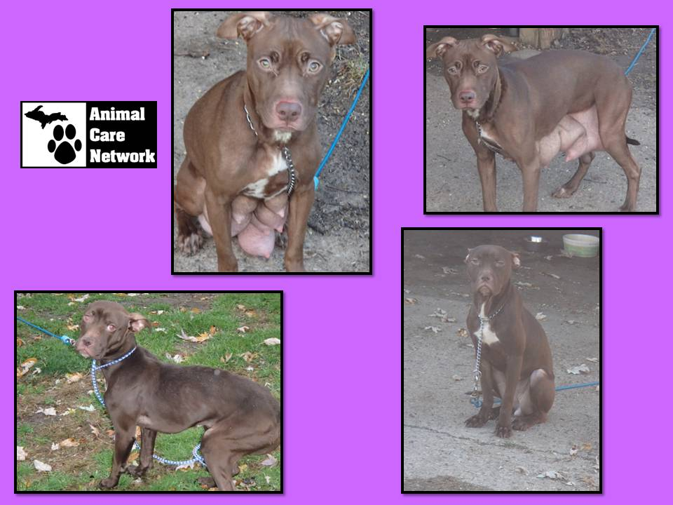 more neglected dumped pitt bulls