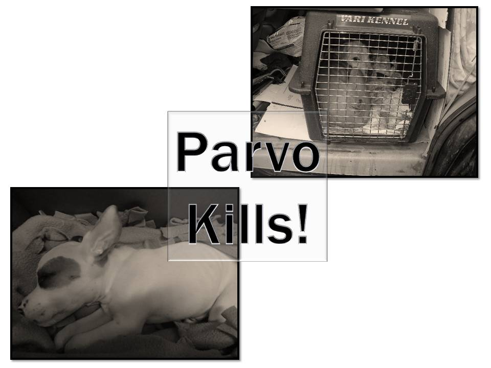 parvo kills