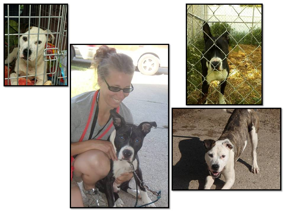 two more pitt bulls rescued