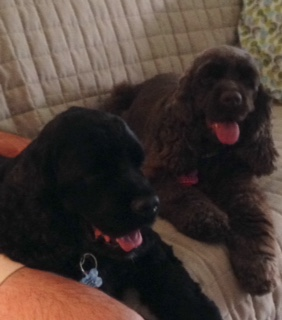 TUCK AND TESS COCKER SPANIELS 9-2015 2