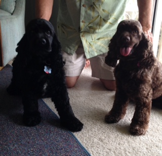 TUCK AND TESS COCKER SPANIELS 9-2015
